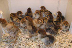 Выживаемость цыплят достаточно высокая