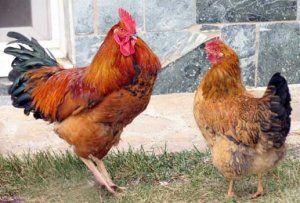 Петуха легко отличить от курицы