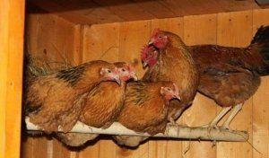 В курятнике должно хватать места для вех птиц