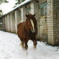 Plemeno ruských ťažkých ťažných koní