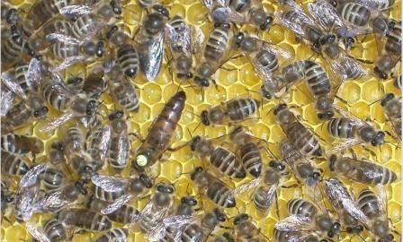 Plemeno včely Karinka