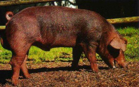 свиньи дюрок