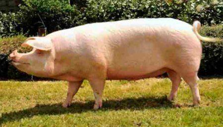 Landras svinje