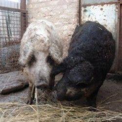 Pasmina svinje BBQ