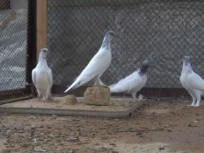Венгерские высоколетные голуби