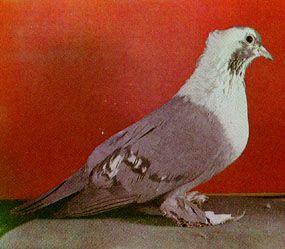 Воронежские белозобные голуби