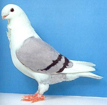Антверпенская порода голубей фото