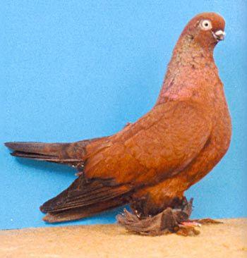 Порода: Берлинский короткий голубь