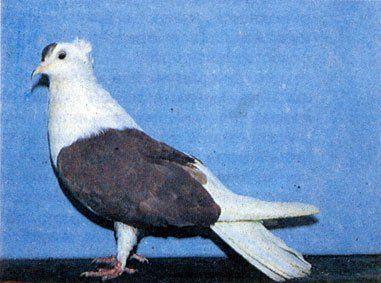 Запорожская чубатая порода голубей