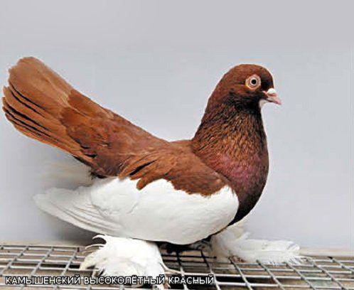 Камышинская порода голубей
