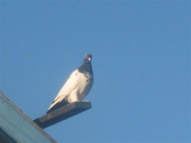 Нежинская порода голубей