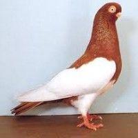 Породы голубей фото