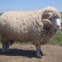 Rase ovaca za uzgoj