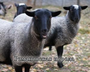 Pasmine proizvodnja ovčijeg mesa