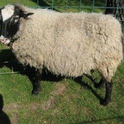 Romanov rase ovčarstvu