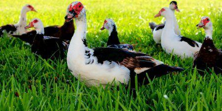 мясная, порода, утки, мускусная