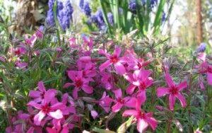 Посадка флоксов, уход, размножение и фото цветов
