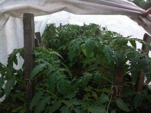 Посадка рассады томатов под плёнку