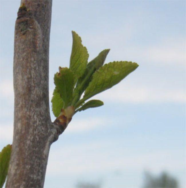 sadnju šljiva