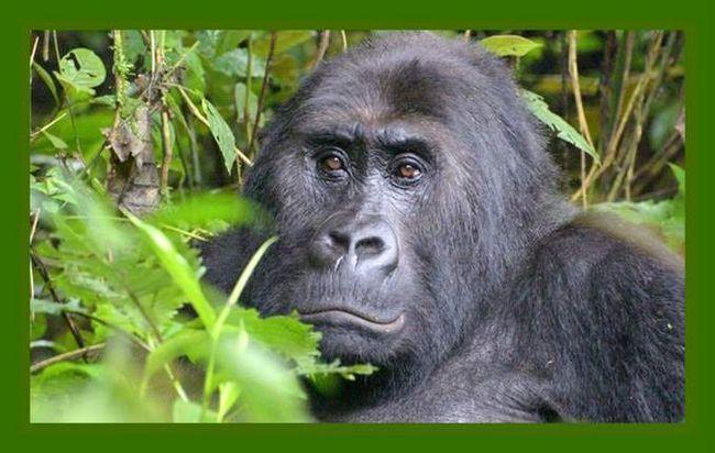 Ono što se događa u prirodi dovodi do izumiranja gorila od Zemlje.