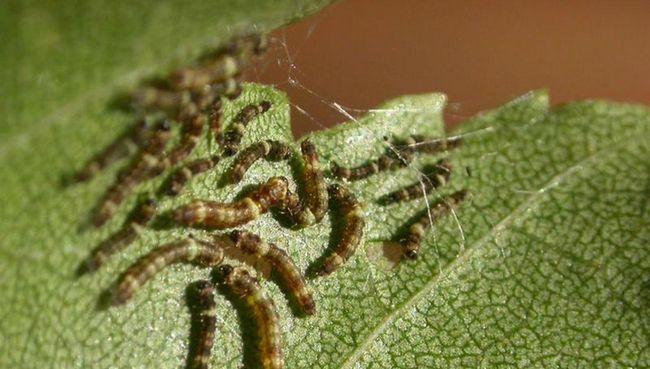Посредством вибрации, берёзовые гусеницы завязывают дружбу