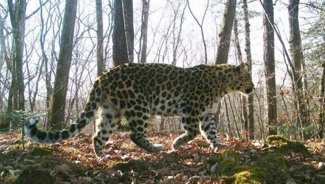 Žrtva leopard pušten na slobodu.