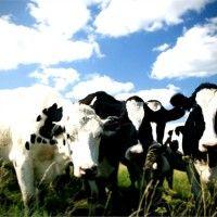 Kada je proizvodnja tok-shop sistema mlijeka hranjenje i brigu o životinjama odgovara njihovu produktivnost i fizičko stanje. Ona se temelji na ravnomjernom raspodjelom obloga i teljenja krava u toku godine,