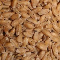 Поврежденное и неполноценное зерно и его использование