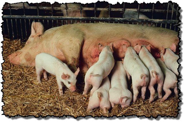 Правила приема опороса свиноматки в условиях частного хозяйства