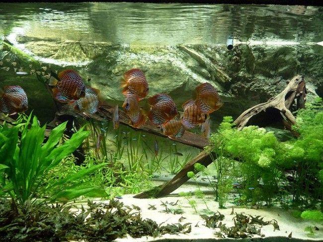 Дискусы совместимость с другими рыбами