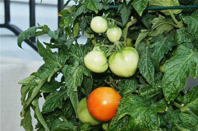Blagoprijatnye_dni_dlja_posadki_pomidor