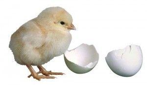 Правильно выбираем суточных цыплят