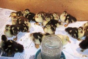 Выращивание птенцов домашней утки