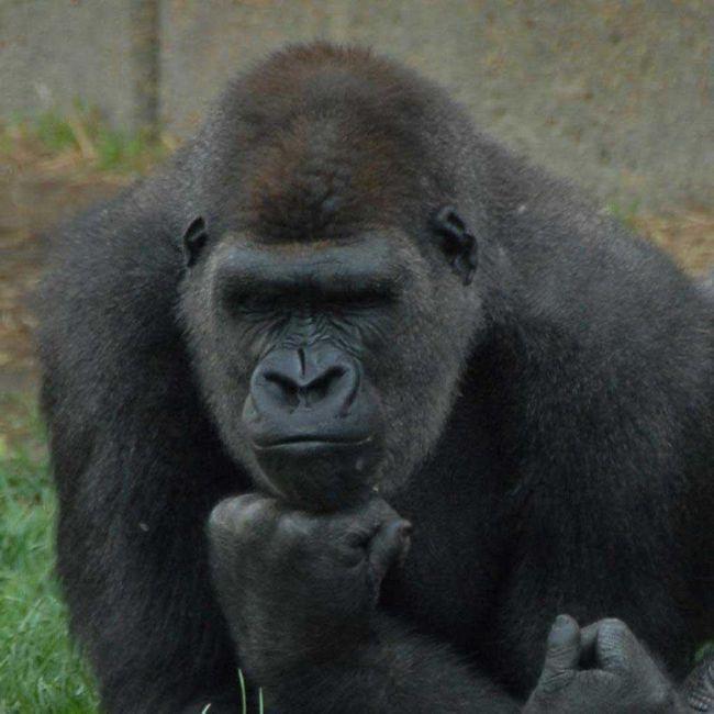 Sličnost s ljudskim gorila dobio čak i više.