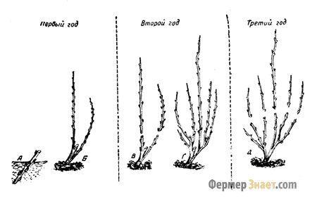 Преимущества и недостатки обрезания малины