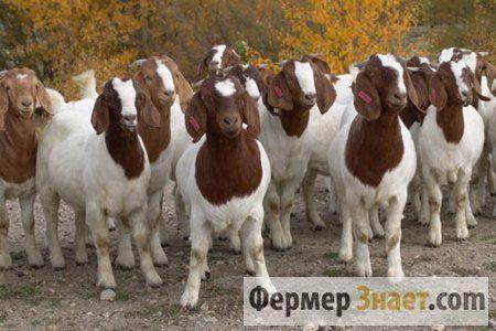Prednosti i nedostaci uzgoja Boer koze