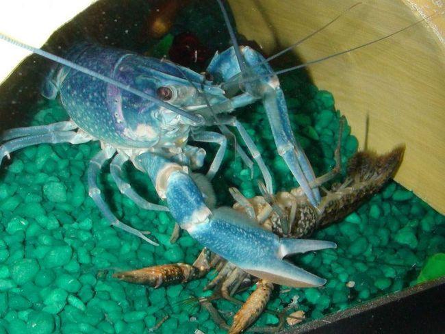 Aceste crabi sunt foarte populare, deoarece acestea nu sunt agresive, nu capricios, si sunt capabili sa se reproduca in captivitate.
