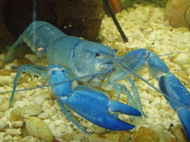 crabi albastru cubanezi au o culoare strălucitoare și caracterul pașnic.