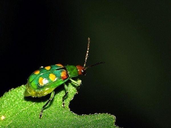 При перемене погоды самки насекомых выделяют меньше феромонов