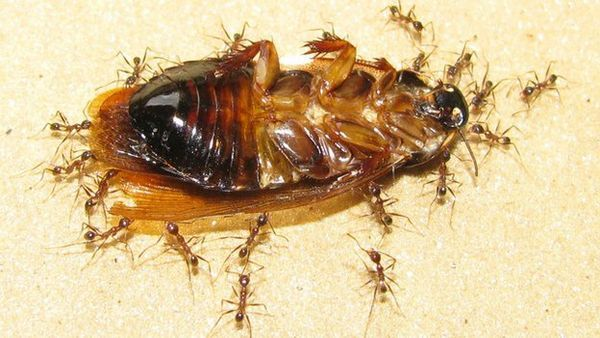 При переносе больших грузов муравьи полагаются на обоняние товарищей