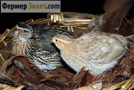 Все что стоит знать любителю-птицеводу о выращивании перепелов в домашних условиях