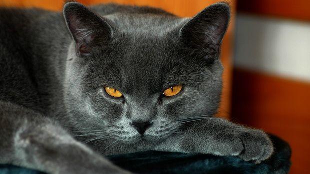 Причины нарушения поведения у британских кошек