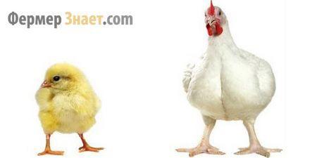 Причины плохого роста бройлерных кур