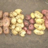 Příčiny zhoršení odrůd
