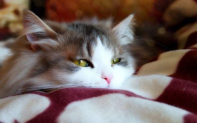 Simptomi alergije na mačke
