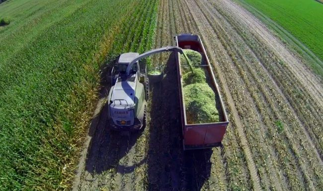 Кукурузный силос: заготовка и особенности кормления