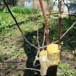 Presađivanje jabuka