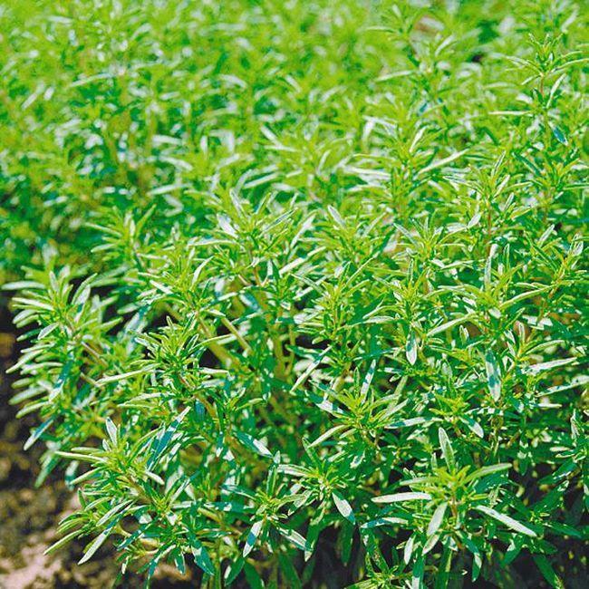 Пряные травы помогут сохранить людям молодость
