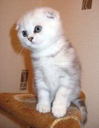 Fold mačići za prodaju