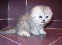 Škotski mačići za prodaju